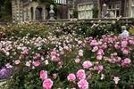 Bodnant Garden – Stunning display of roses