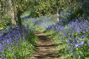 Bluebell Walk at Hartland Abbey, Devon